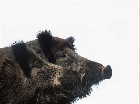 How '30-50 Feral Hogs' Became the New 'Thoughts and